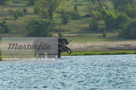 African elephants (Loxodonta africana) drinking in Chobe River