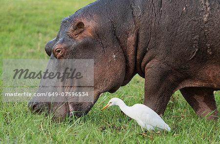 Hippo eating grass