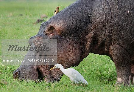 Oxpecker over a grazing Hippo  (Hippopotamus amphibius)and an egret