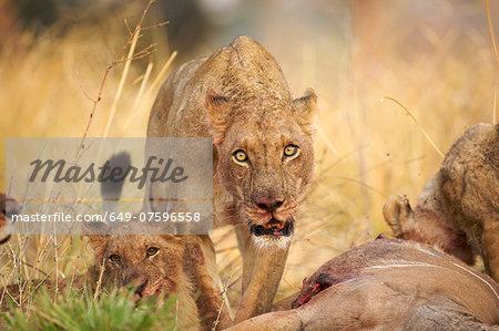 Lioness - Panthera leo - feeding on kudu carcase