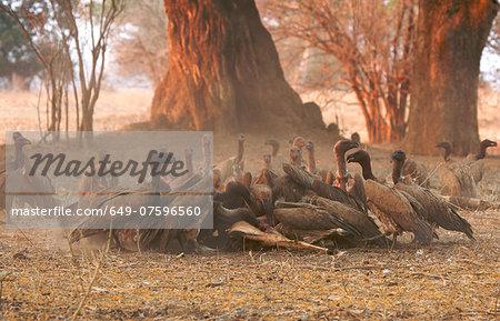 White-backed vultures - Gyps africanus - feeding on impala carcase at sunset