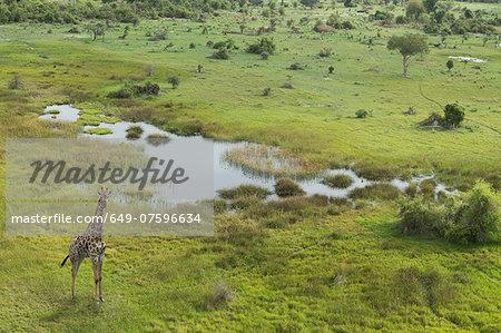 Aerial view of giraffe, Okavango Delta, Chobe National Park, Botswana, Africa