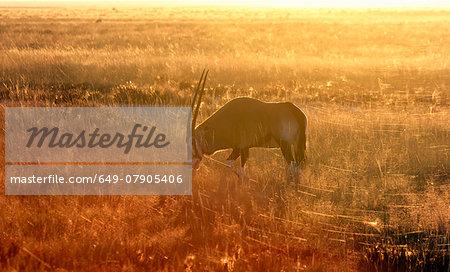 Oryx grazing at sunset, Etosha National Park, Namibia