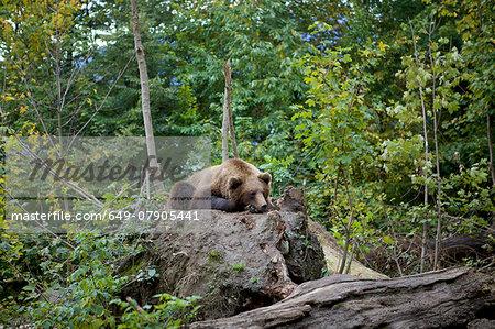 Brown bear lying on top of fallen tree root in forest, Innsbruck Tyrol, Austria