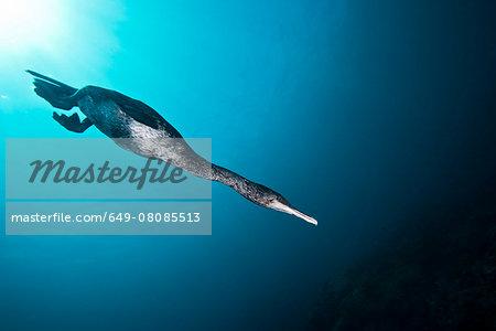 Flightless cormorant (Phalacrocorax harrisi), despite being clumsy on land, displays fantastic abilities underwater, Galapagos, Ecuador