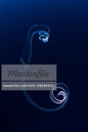 Graceful jellyfish, Socorro Island, Revillagigedo, Mexico