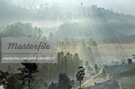 Tea plantation at dawn, Kerala, India