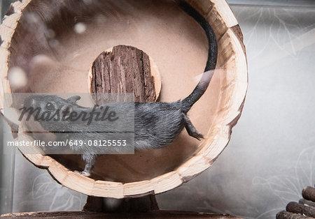 Gerbil running on wooden wheel