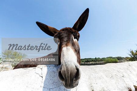 Portrait of curious donkey, Menorca, Spain