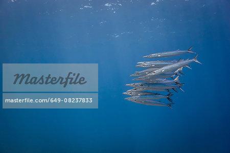 Underwater view of school of juvenile chevron barracuda (sphyraena genie), Lombok, Indonesia