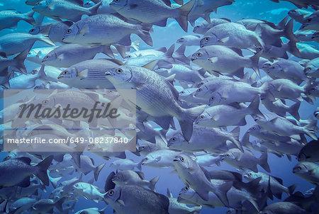 Underwater view of school of lowfin drummers (kyphosus vaigiensis), Lombok, Indonesia