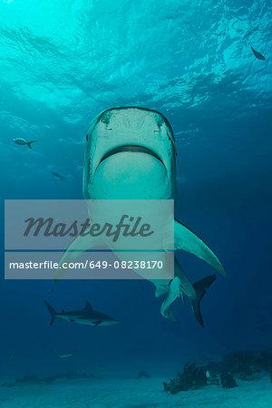Low angle view of tiger shark swimming, Tiger Beach, Bahamas