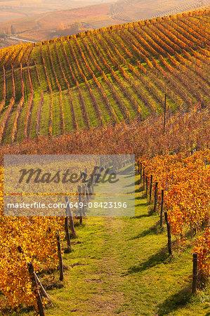 Rows of autumn vineyards, Langhe, Piedmont, Italy