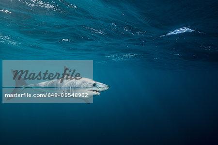 Underwater view of shortfin mako shark (Isurus oxyrinchus) swimming in sea, West Coast, New Zealand