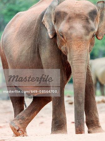Indian elephant, Pinnawela Elephant Orphanage, Kegalle, Sri Lanka