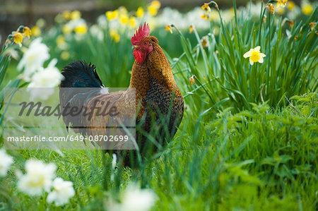 Portrait of rooster in daffodil meadow