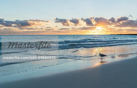 Seagull on Miami beach at sunrise, Florida, USA