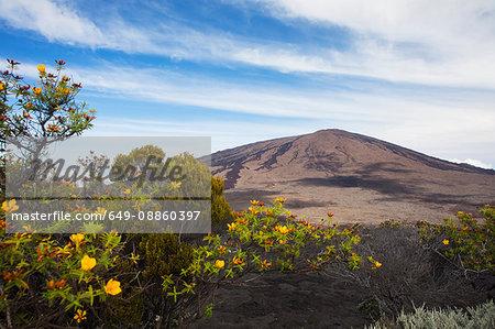 Volcanic landscape with yellow shrub flowers and Piton de la Fournaise, Reunion Island
