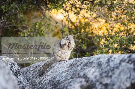 Portrait of squirrel on rock, Yosemite National Park, California, USA