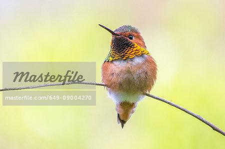 Allen's Hummingbird, Selasphorus sasin