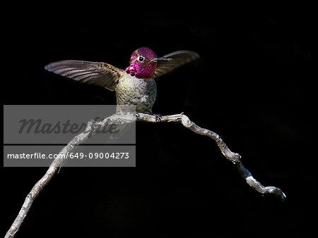 Anna's hummingbird, Calypte anna, male