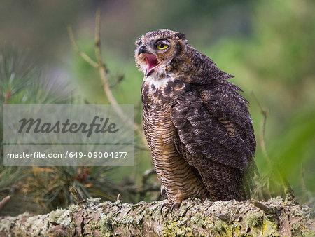 Great horned owl, Bubo virginianus, juvenile
