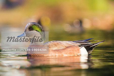 American wigeon, Anas americana, male, drake