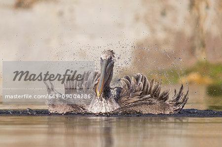 Brown pelican, Pelecanus occidentalis, juvenile