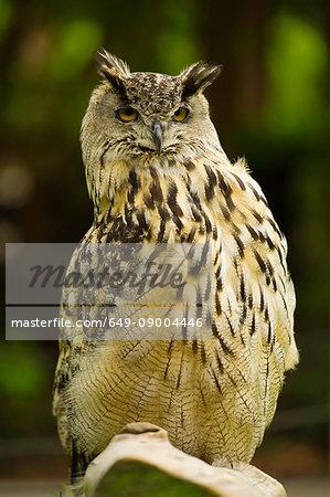 Eurasion Eagle Owl, San Francisco, California, USA