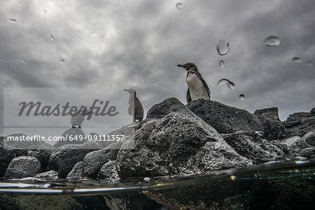 Galapagos Penguins resting on rocks, Seymour, Galapagos, Ecuador