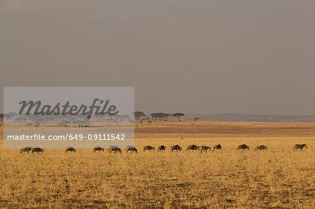 Wildebeest, Connochaetes taurinus, Zebra, Equus burchelli, Tarangire National Park, Tanzania