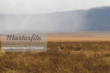 Lion, Lioness, Panthera leo, Ngorogoro Crater, Tanzania