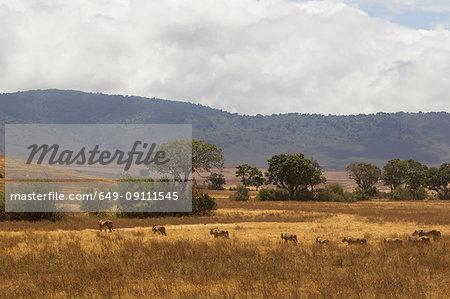 Lion, Panthera leo, Ngorogoro Crater, Tanzania