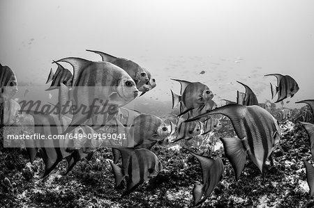 Schooling Atlantic spadefish, Puerto Morelos, Quintana Roo, Mexico