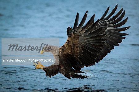 White-tailed Eagle (Haliaeetus albicilla), in flight, hunting for fish, Lofoten, Nordland, Norway