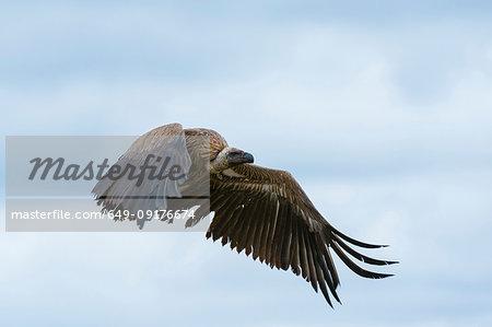 White-backed vulture (Gyps africanus) in flight, Ndutu, Ngorongoro Conservation Area, Serengeti, Tanzania