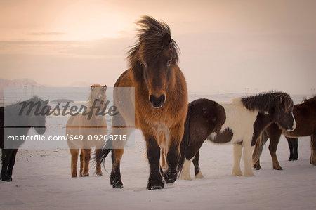 Wild horses, South Coast, Iceland