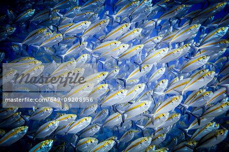 Shoal of doubleline fusilier fish (pterocaesio digramma), Sumbawa, Indonesia