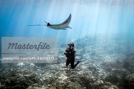 A Manta Ray (Manta alfredi) swimming over a scuba diver , Bali, Indonesia