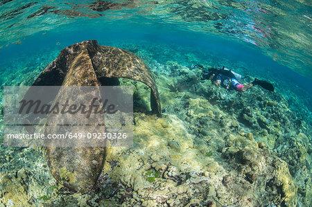 Diver exploring reef life and old wrecks, Alacranes, Campeche, Mexico