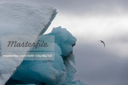 Black-legged kittiwake (Rissa tridactyla), flying over iceberg Burgerbukta, Spitsbergen, Svalbard, Norway.