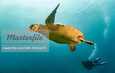 Underwater view of Hawksbill sea turtle and diver, Raja Ampat, Sorong, Nusa Tenggara Barat, Indonesia