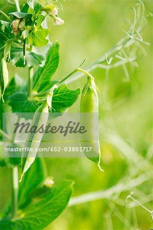 Peas on the plant