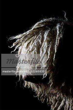 Komondor,portrait