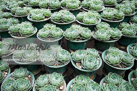 Plant pots of Aeonium Arboreum