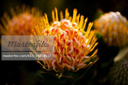 Three Pincushion Protea 'Veld Fire' (Leucospermum) flowers, close-up