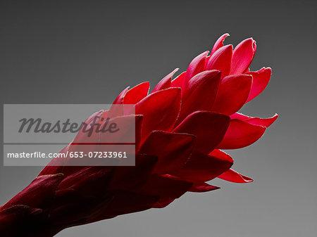 A Red Ginger flower (Alpinia purpurata) flower