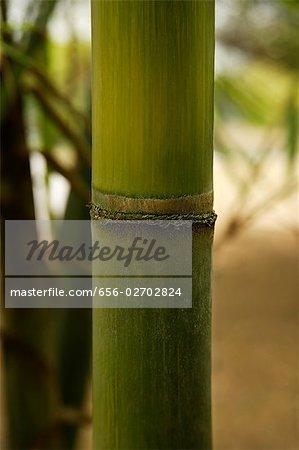 green bamboo shoot closeup