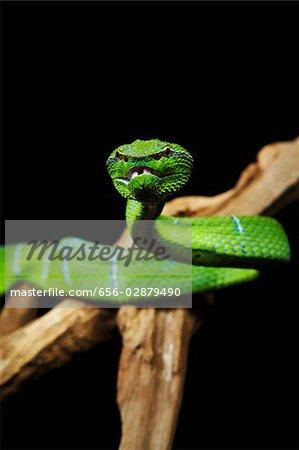 Green Pitviper snake