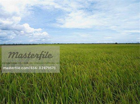 vast open rice fields